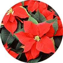 poinsetta-crafts