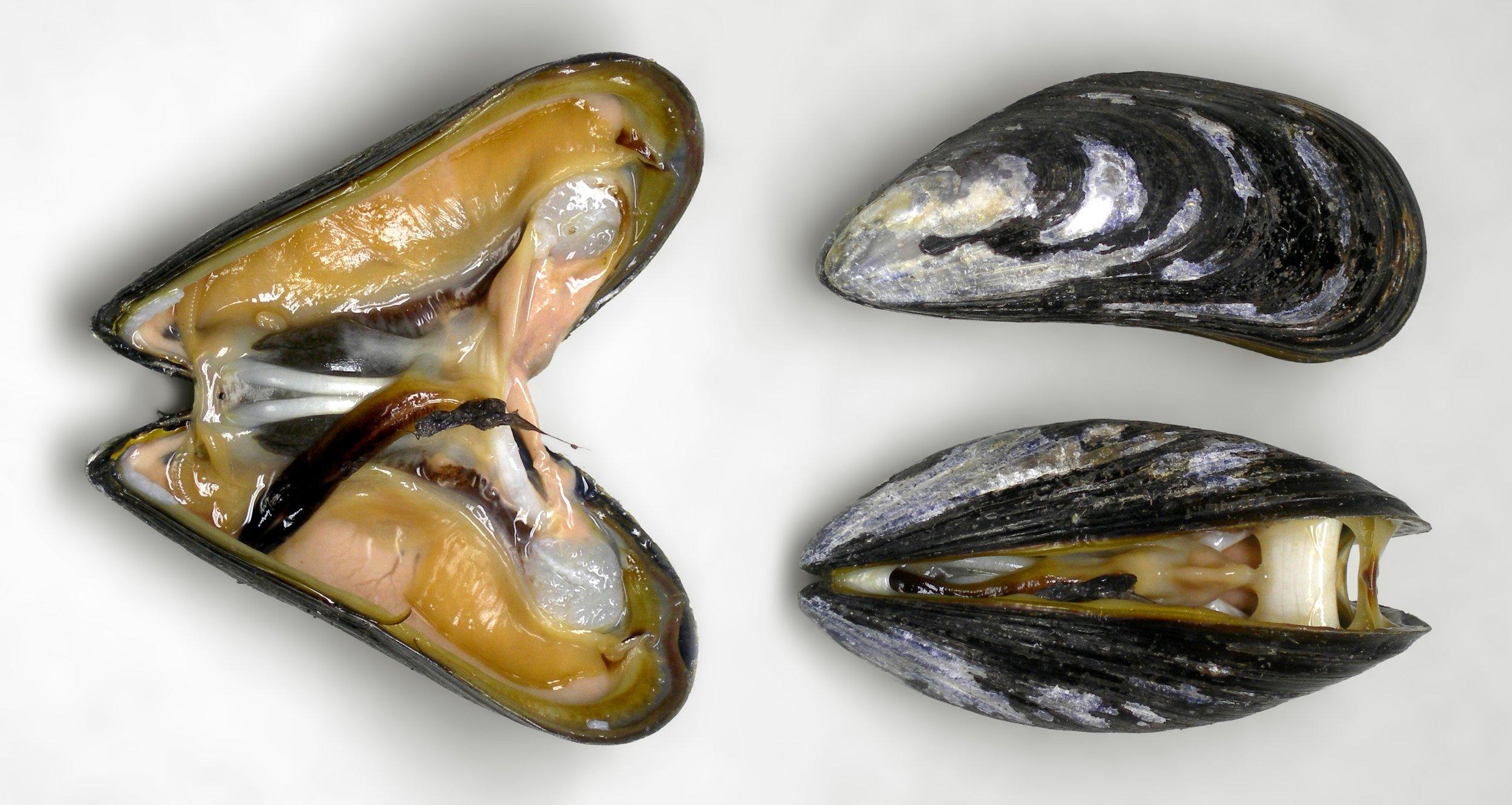 Miesmuscheln-2.jpg