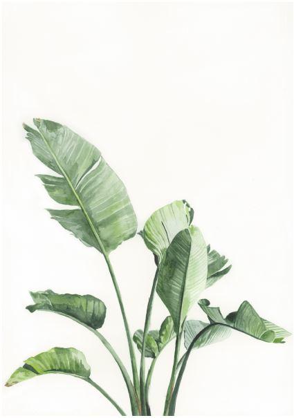Strelitzia white.JPG