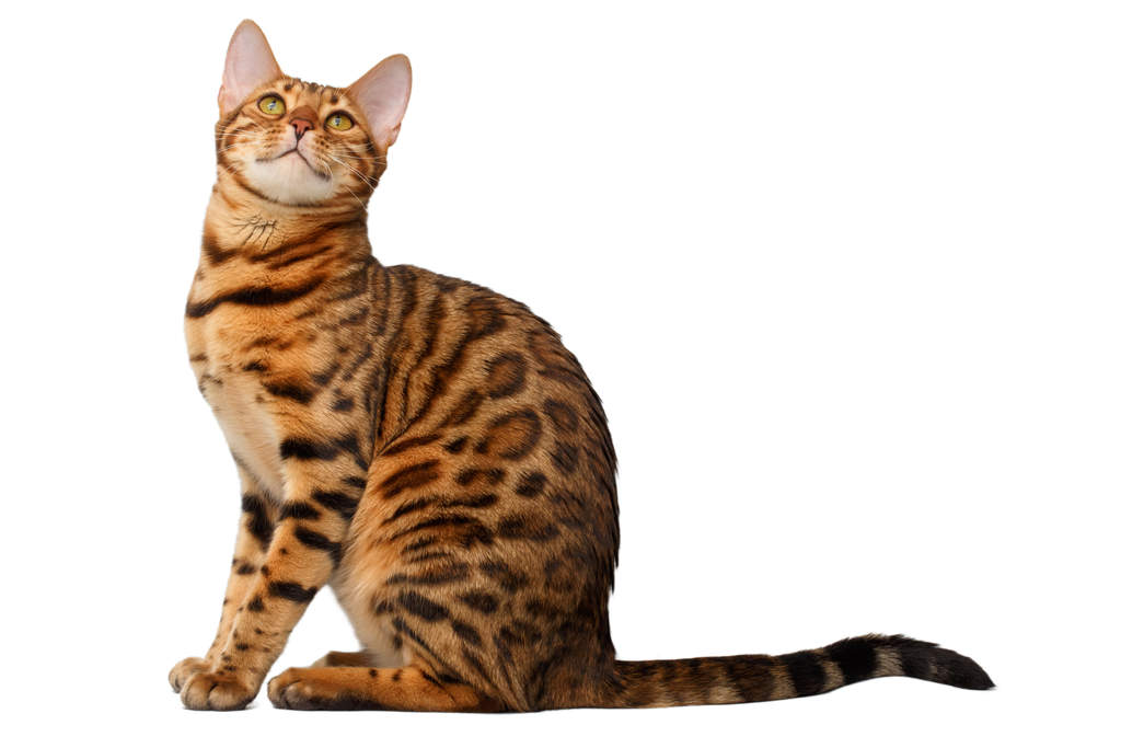 Cat-Bengal-A_well_muscled_bengal_cat_with_a_rosetted_coat.jpg