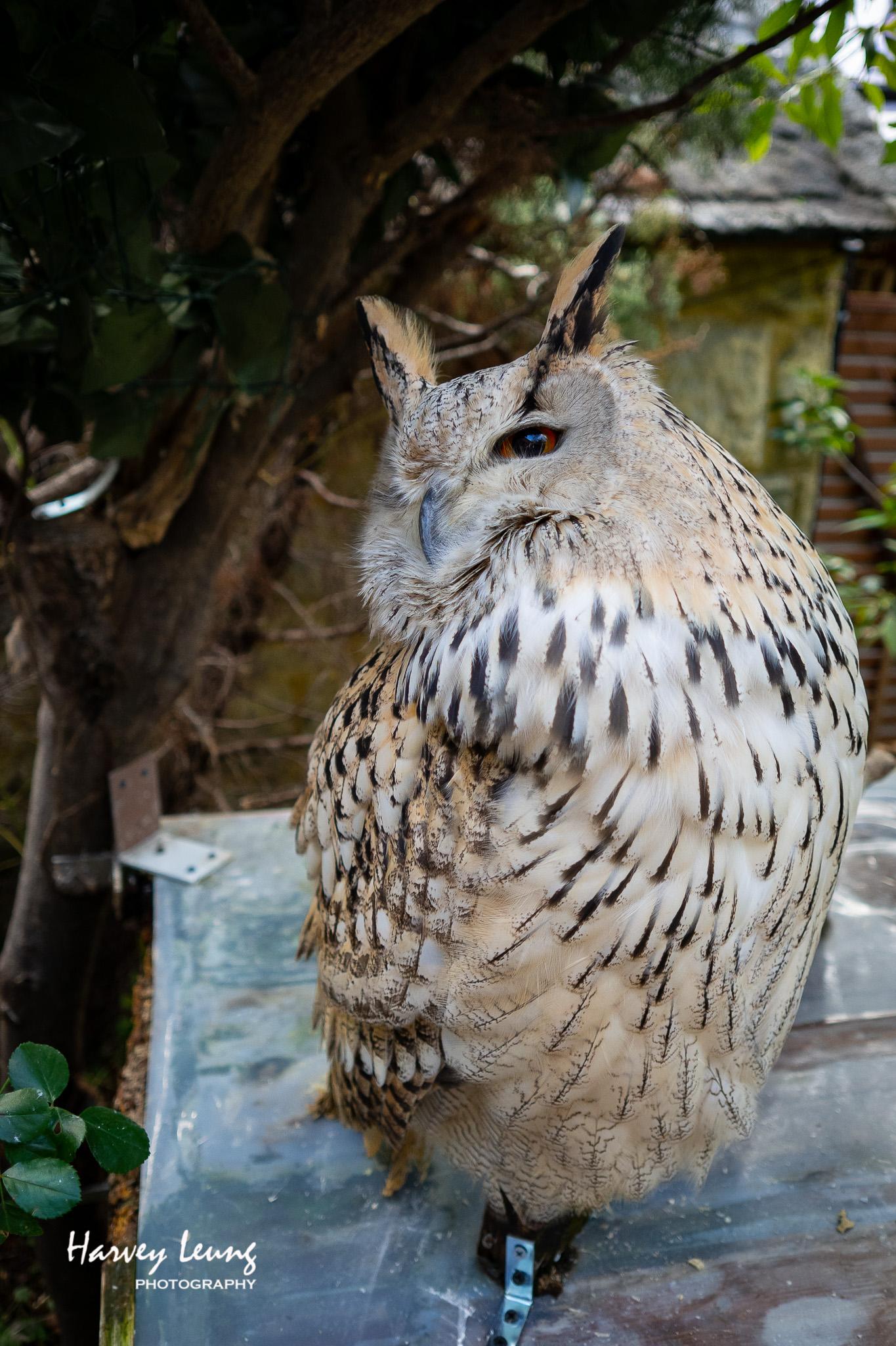 至愛的貓頭鷹