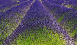lavender 2 - Copy