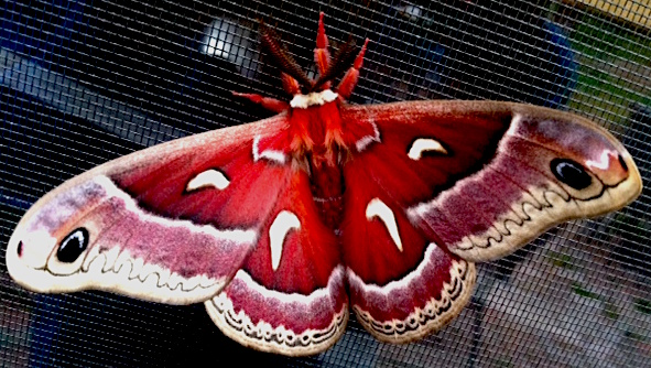moth copy.JPG