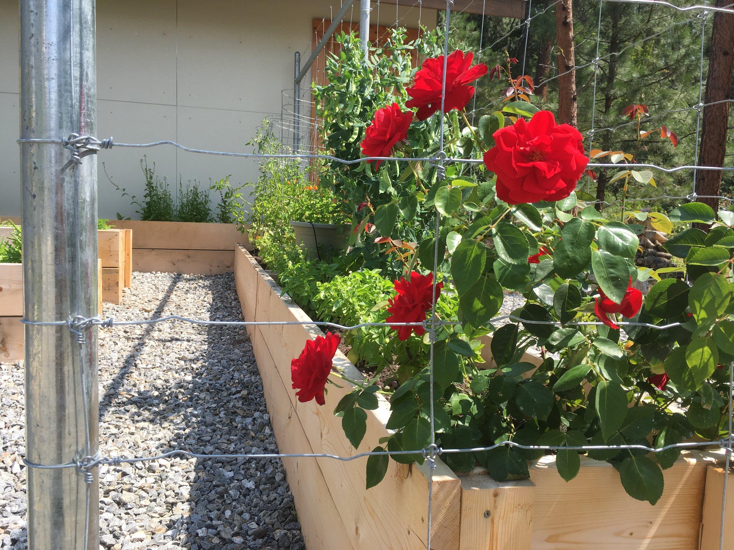 Climbing Rose in edible garden fence