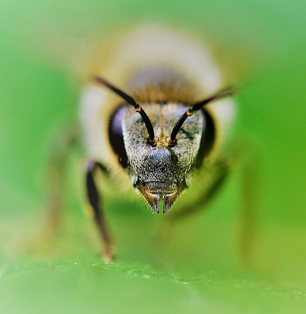 Valerio Spinazzi Bee Face.jpg