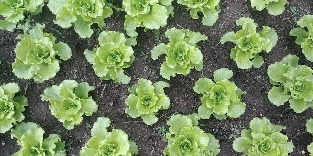 baby+lettuce.jpg