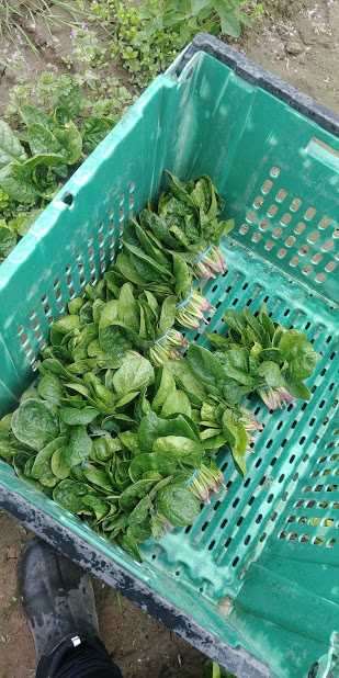 spinach harvest may 20 2019.jpg