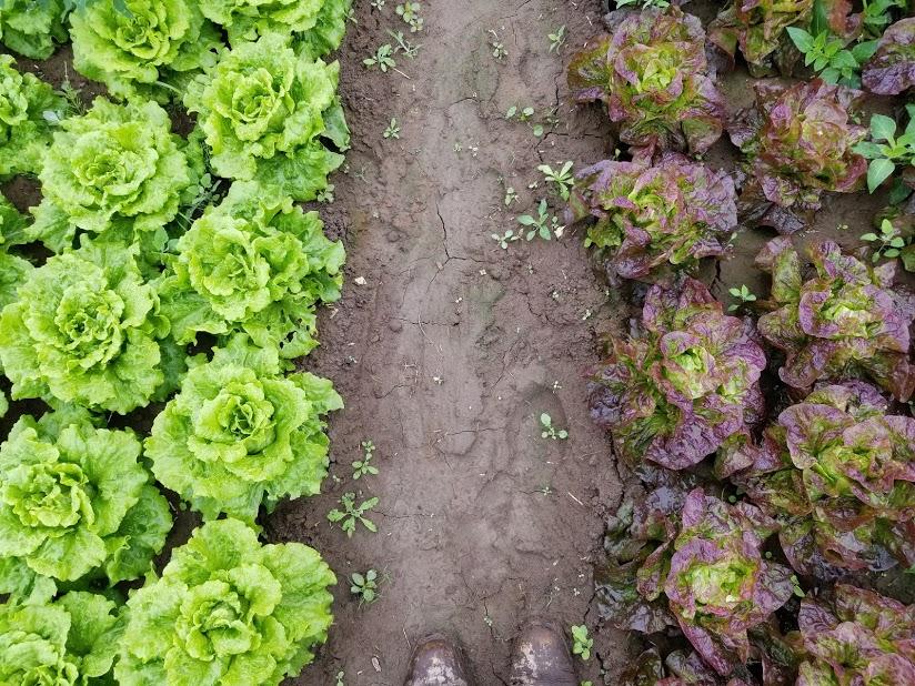 lettuces.jpg