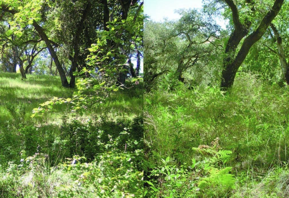 (Left) A healthy, well managed oak woodland habitat composed of several native species. (Right) An overgrown, non-native weed infested woodland with high wildfire hazard fuel loads resulting from past disturbance, neglect and poor management .