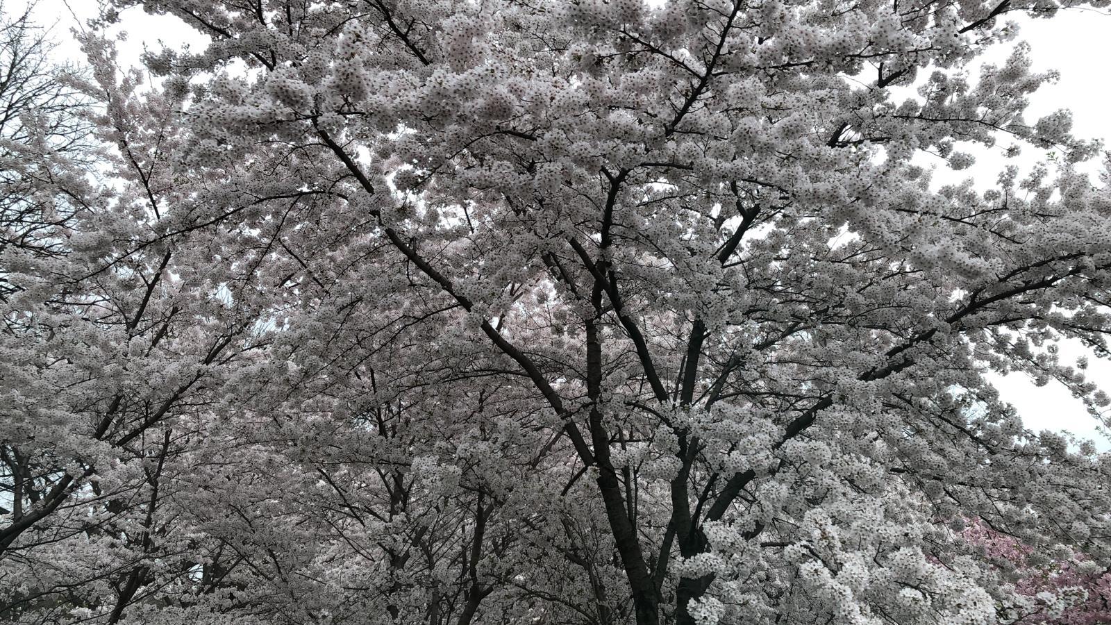 Branch Brook Park Cherry Blossom Festival April 14, 2019