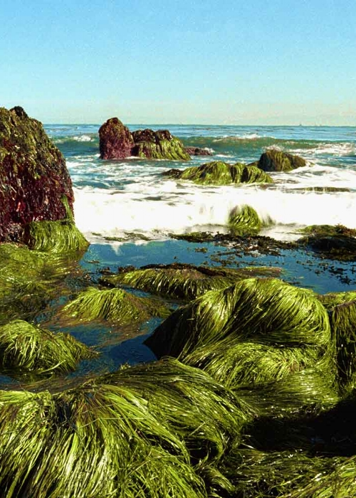 Spirulina - Spirulina is a green superfood powerhouse not just for the inside of your body but for your skin, too! This blue-green algae rich in vitamins and minerals, including B-complex vitamins, beta-carotene, vitamin E, manganese, magnesium, phosphorous, zinc, copper, iron, selenium, and gamma linoleic acid (an essential fatty acid) is one of the most nutritionally rich superfoods in existence. As a result, it has powerful anti-inflammatory and anti-aging benefits. The abundant chlorophyll content helps the skin retain moisture and stay hydrated in the hot sun. Kokua Sun Care uses spirulina cultivated on the Kona coast of Hawaii, in conditions similar to how the algae first grew on the planet, 3,500 million years ago. The Kona coast has a perfect growing climate allowing the spirulina to continuously grow all 12 months of the year rendering a superior strain of the algae with the highest concentration of key nutrients and carotenoids.