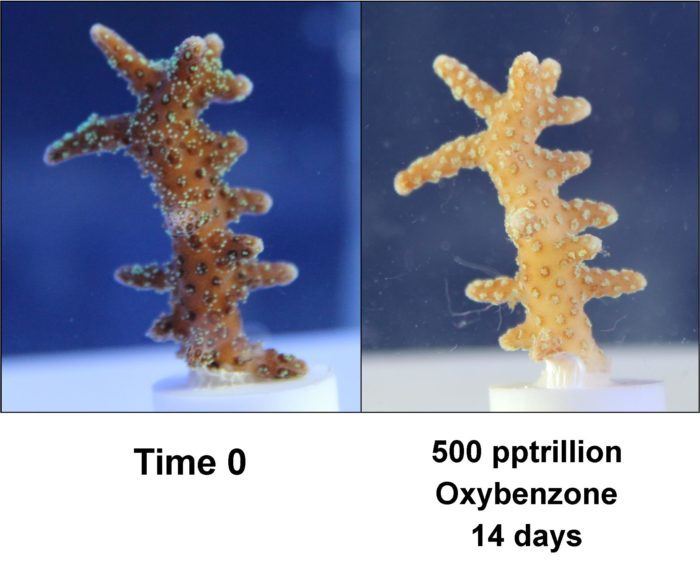 Oxybenzone induced bleaching of coral at minute concentrations (parts per trillion) in only 14 days. Courtesy of Haereticus Environmental Labaratories.