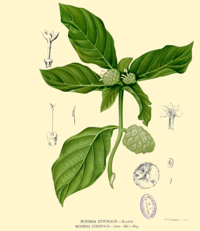 Noni_fruits_and_flowers_Morinda_citrifolia-800-web.jpg