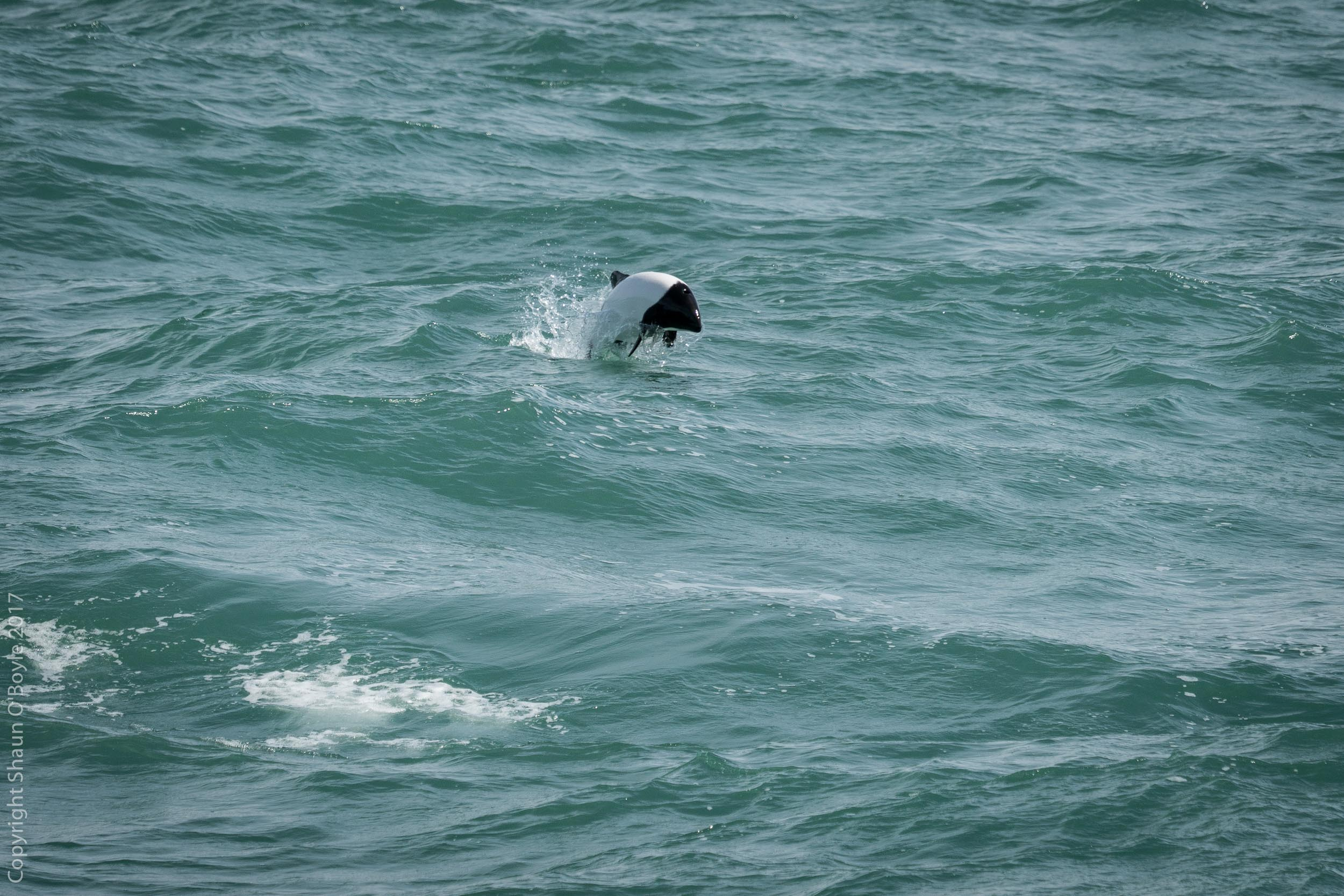 Commerson's Dolphin, Straits of Magellan