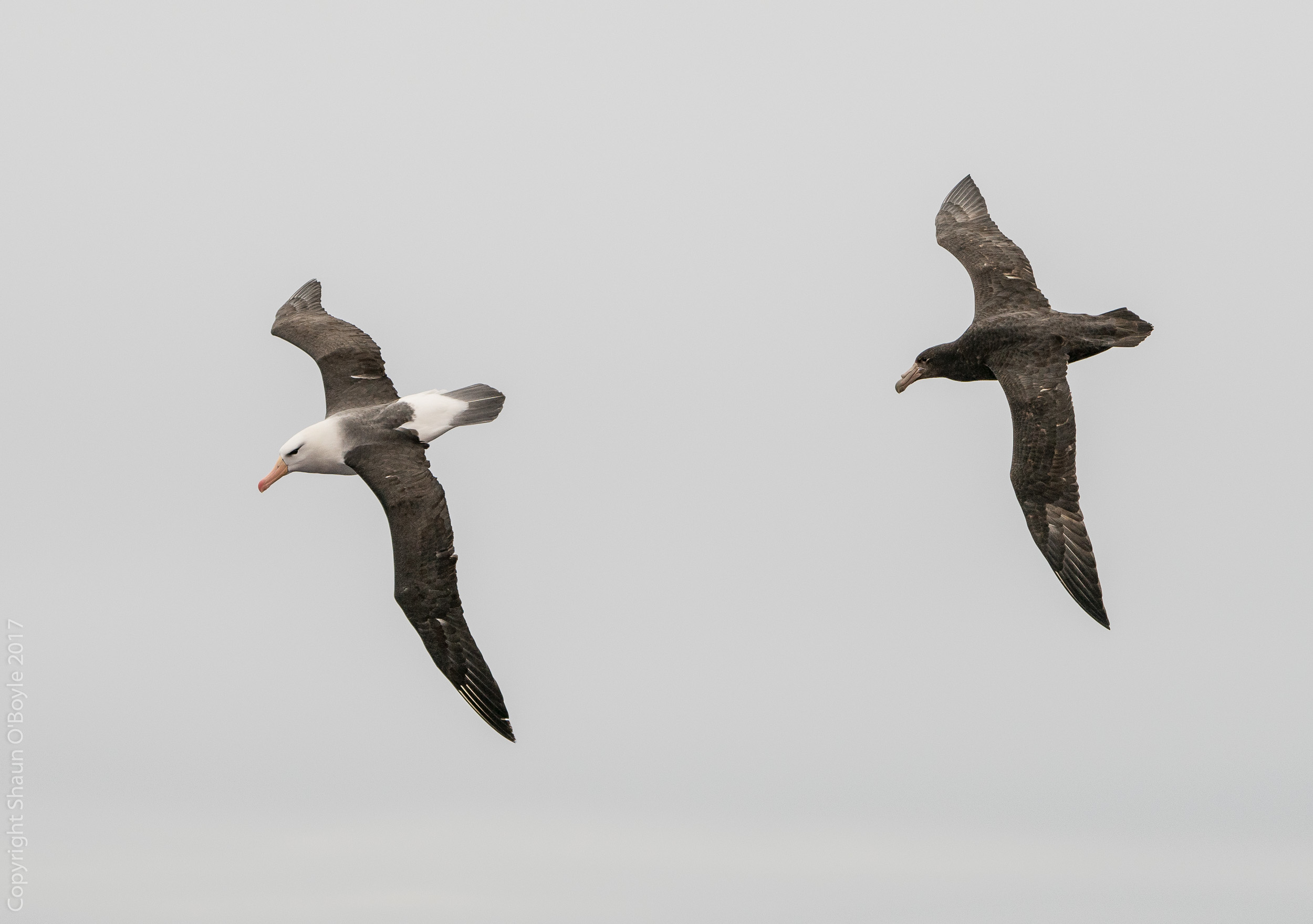 Albatross and Southern Giant Petrel