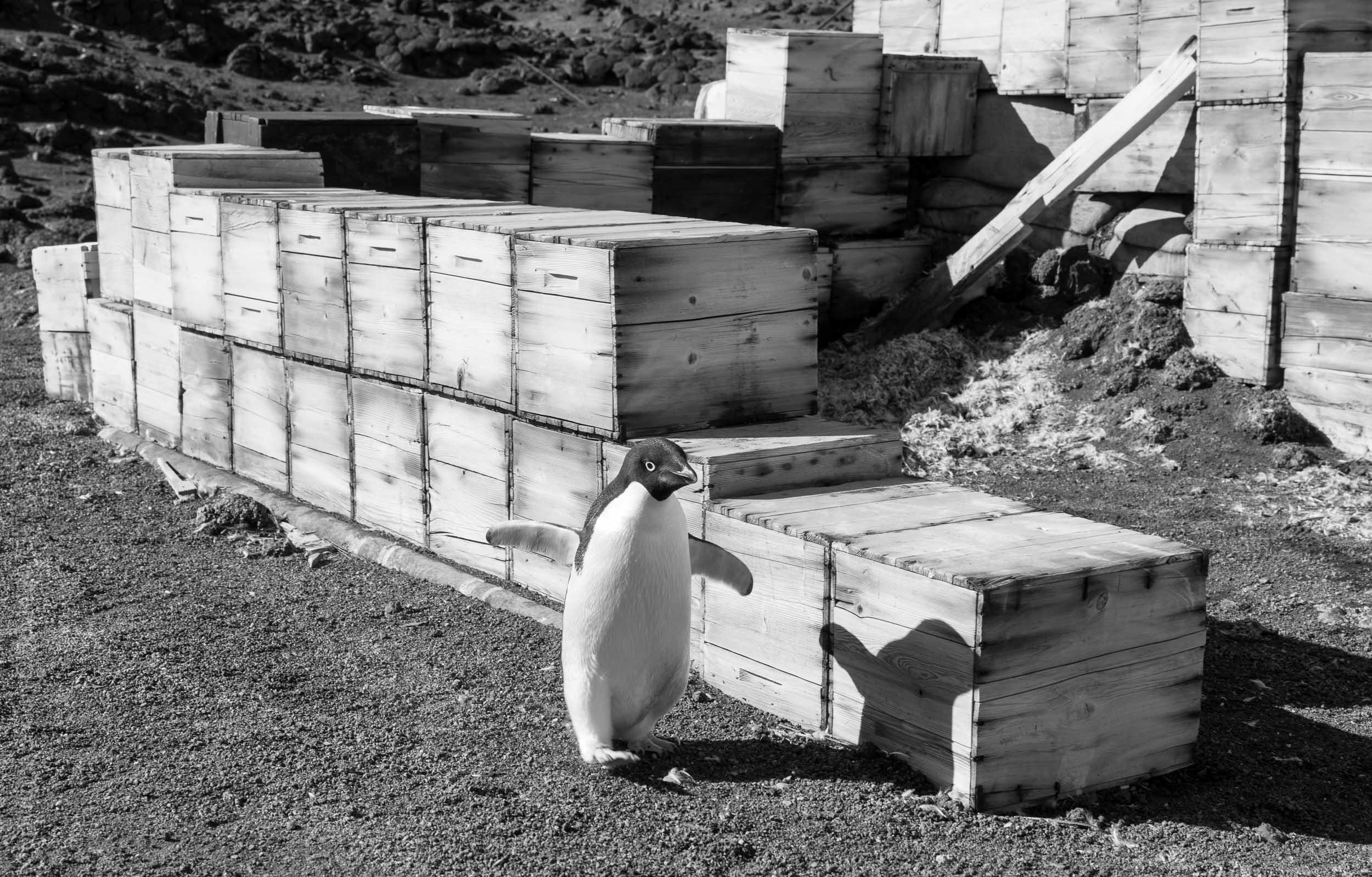 Adelie penguin running past Shackleton's Hut