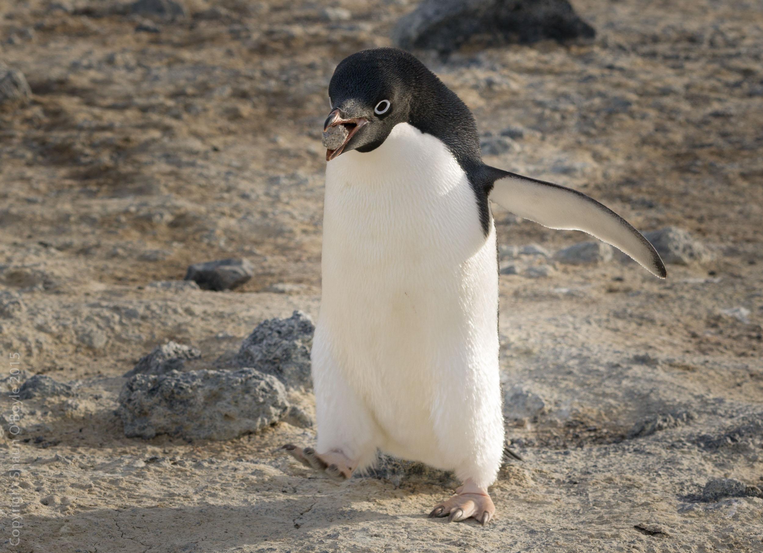 Adelie Penguin stealing stones