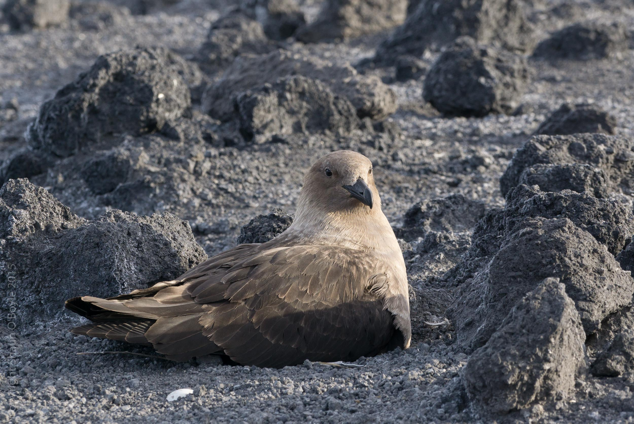 Skua, a bird that preys on the penguin colony