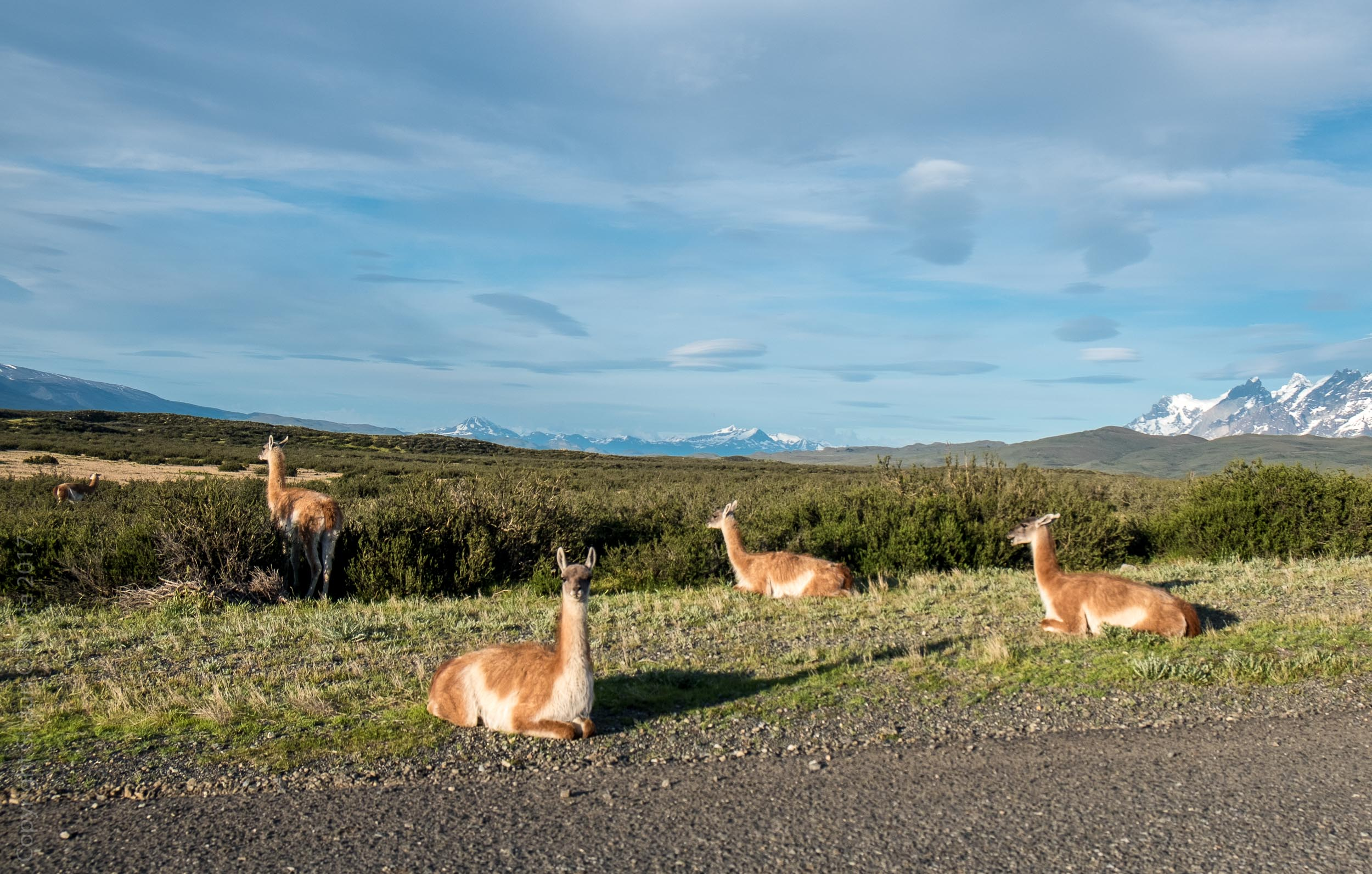 Guanacos lounging by the roadside