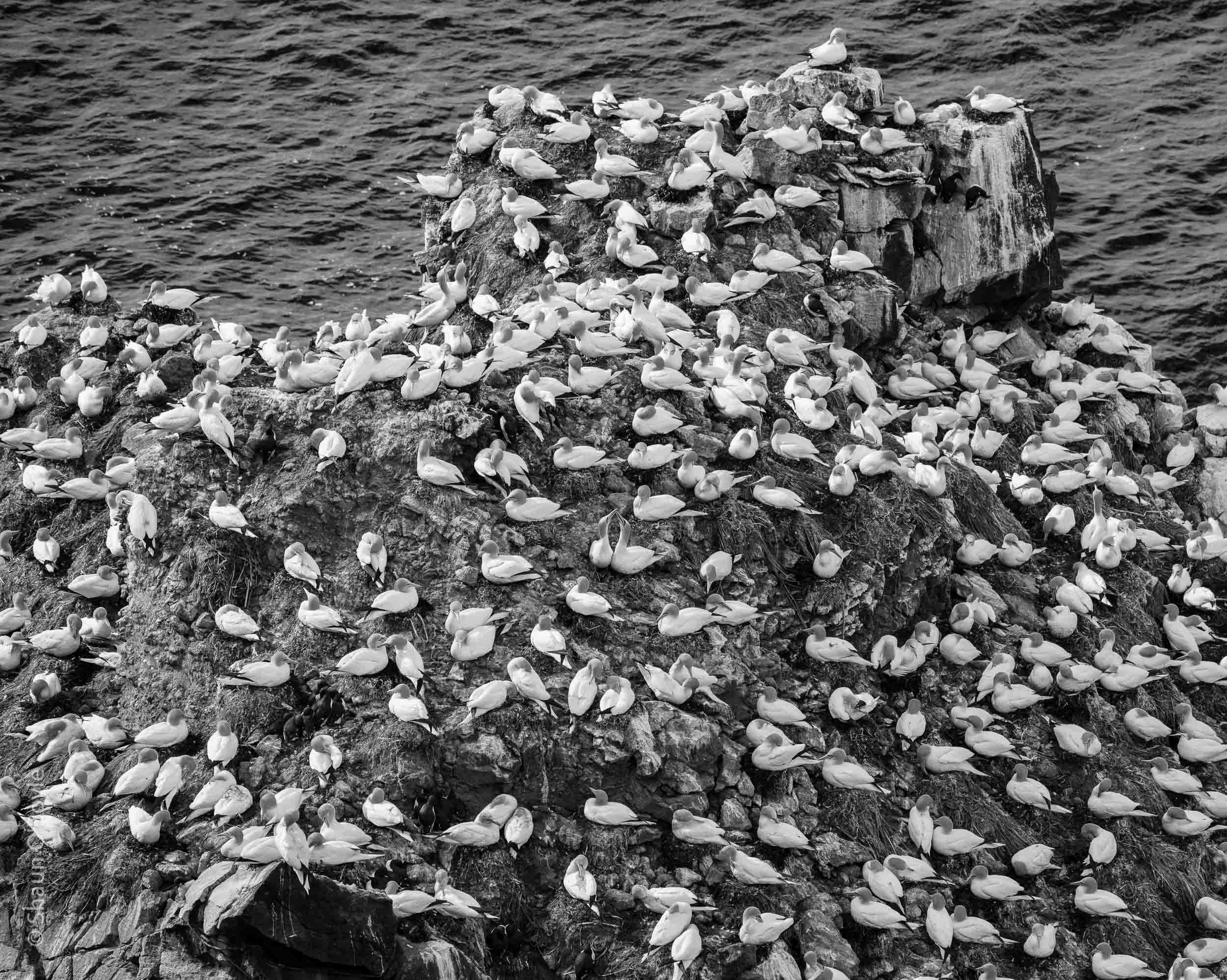 Northern Gannet colony