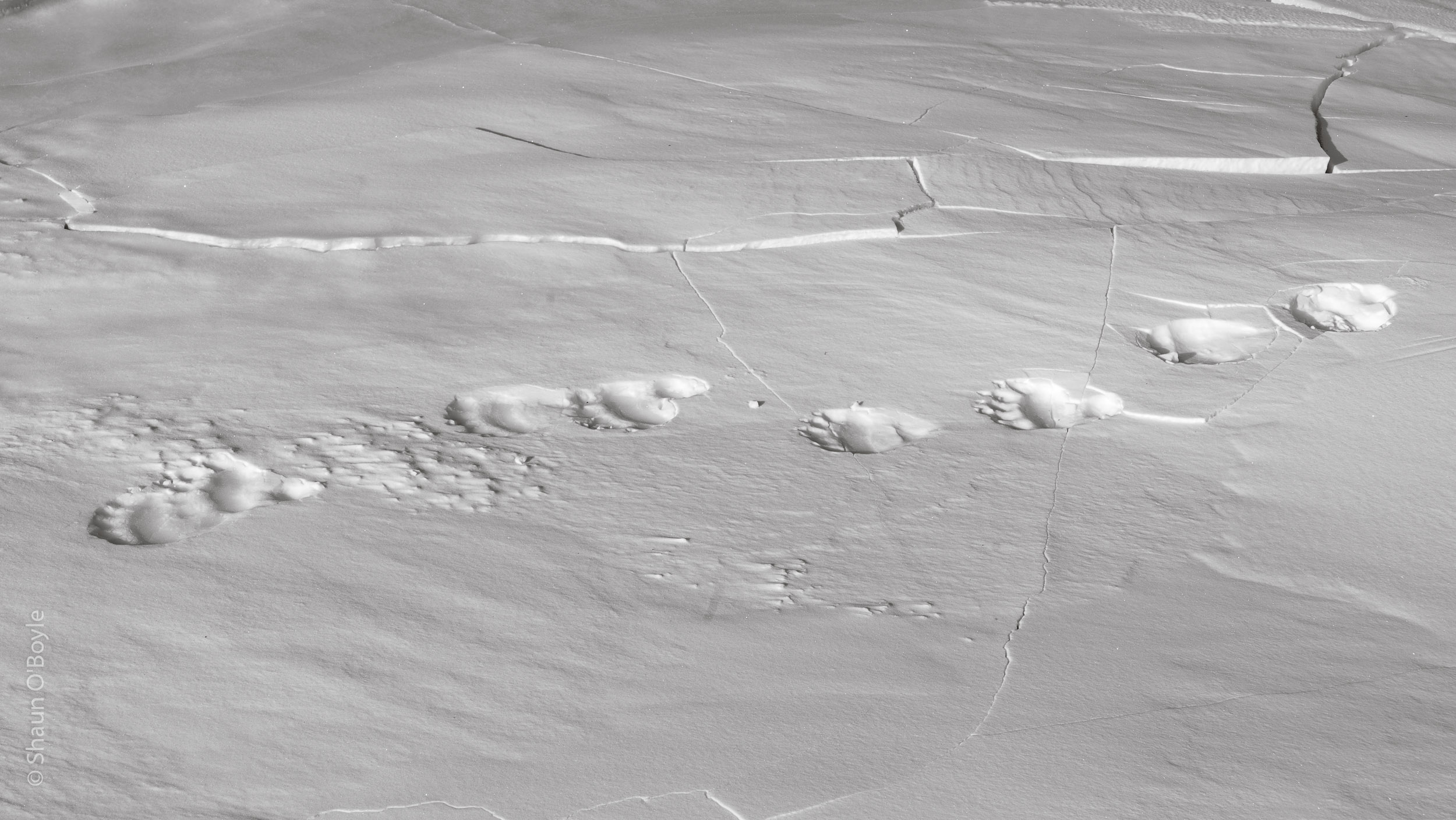 Polar Bear Tracks, Temple Fjord