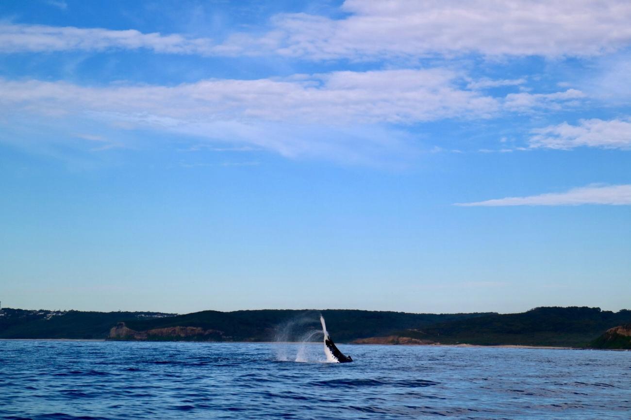 Whale-Watching-crusies-Newcastle