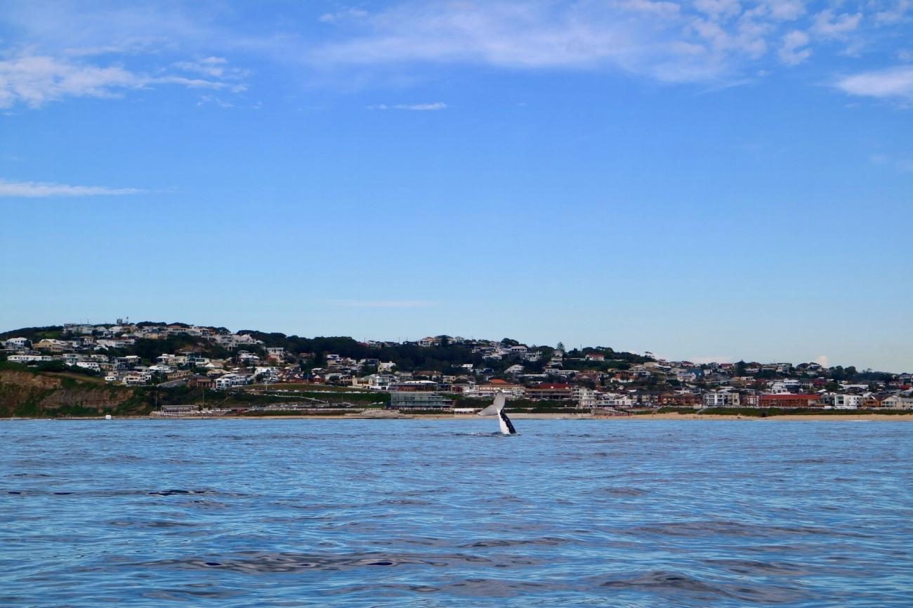 Whale-Watching-Cruises-Newcastle