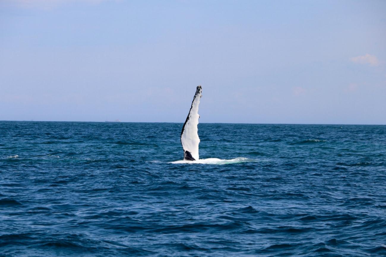 Whale-pectoral-fin-slap