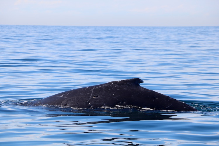 First humpback whale of the 2019 season