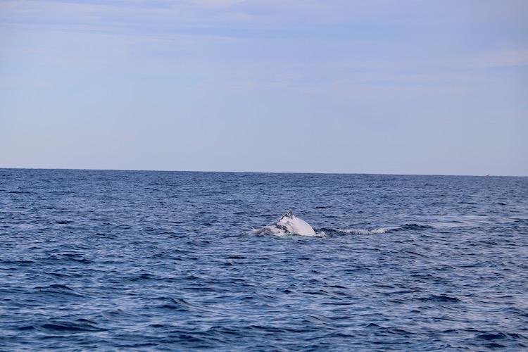 Humpback-Whale-Newcastle.jpg