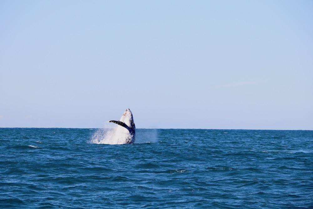 Breaching-Whale-Newcastle-NSW.jpg