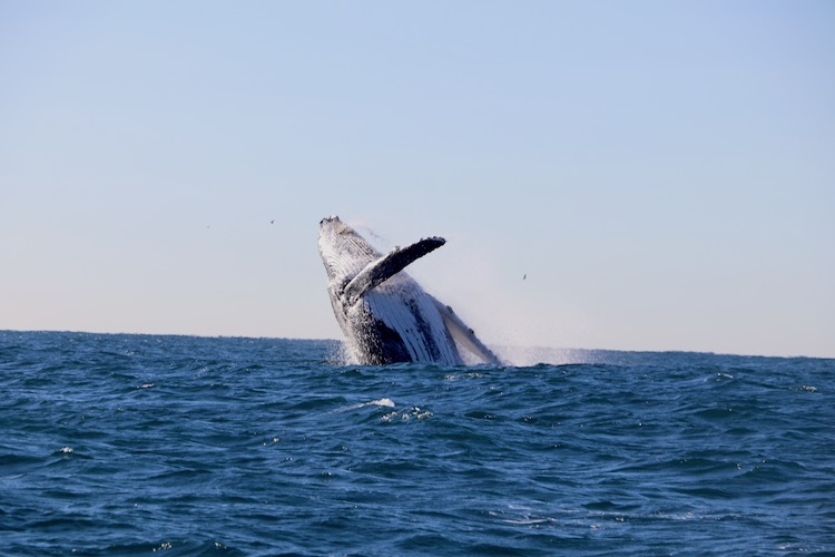 Five Facts You Didn't Know About Humpback Whales - Humpback whales are some of the most curious and inquisitive out of all marine mammals easily identified by the distinctive hump on their back, behind their dorsal fin, but did you know these facts?