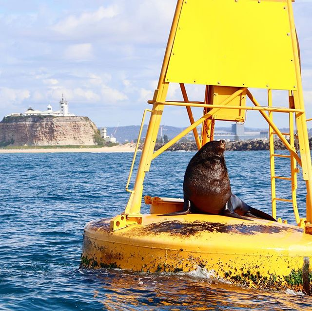 Poor Nigel, our happy, charismatic New Zealand Fur Seal has endured a bite from a white shark! 🦈