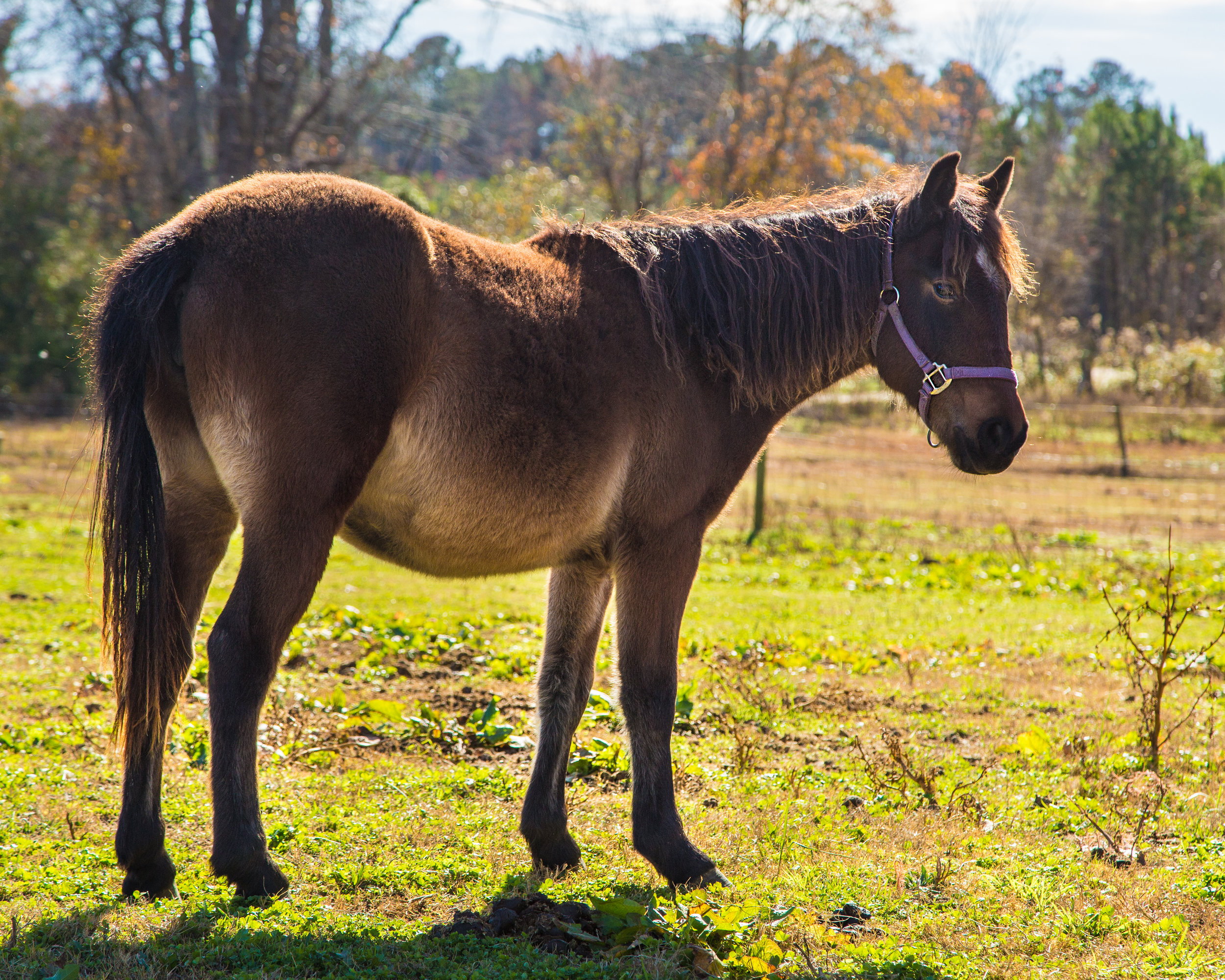 Katalina, Rescue from Corolla Wild Horse Fund