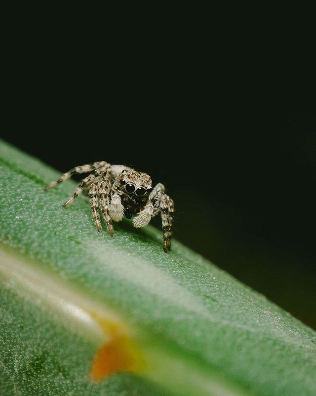 """Una arañita de estas, """"Saltarina"""" (Salticidae spp.), fue hace muchos años el primer paso para vencer mi miedo a las arañas. Son completamente inofensivas y su visión es increíble, amigos. Cuídenlas, son una maravilla del reino animal. 🕷️☘️"""