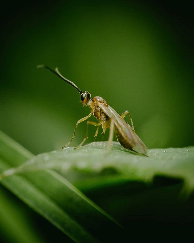 Fotografía a una avispa de la familia Braconidae. Se trata de una especie minúscula de hábitos parásitos (¡Crece y se alimenta dentro de otros insectos!). Estas avispas miden apenas unos cuantos milímetros de tamaño, entre 1mm y 15mm muy rara vez. ⠀ Actualmente se tienen descritas unas 17,000 especies de las aproximadamente 65,000 estimadas 🐝🌱.