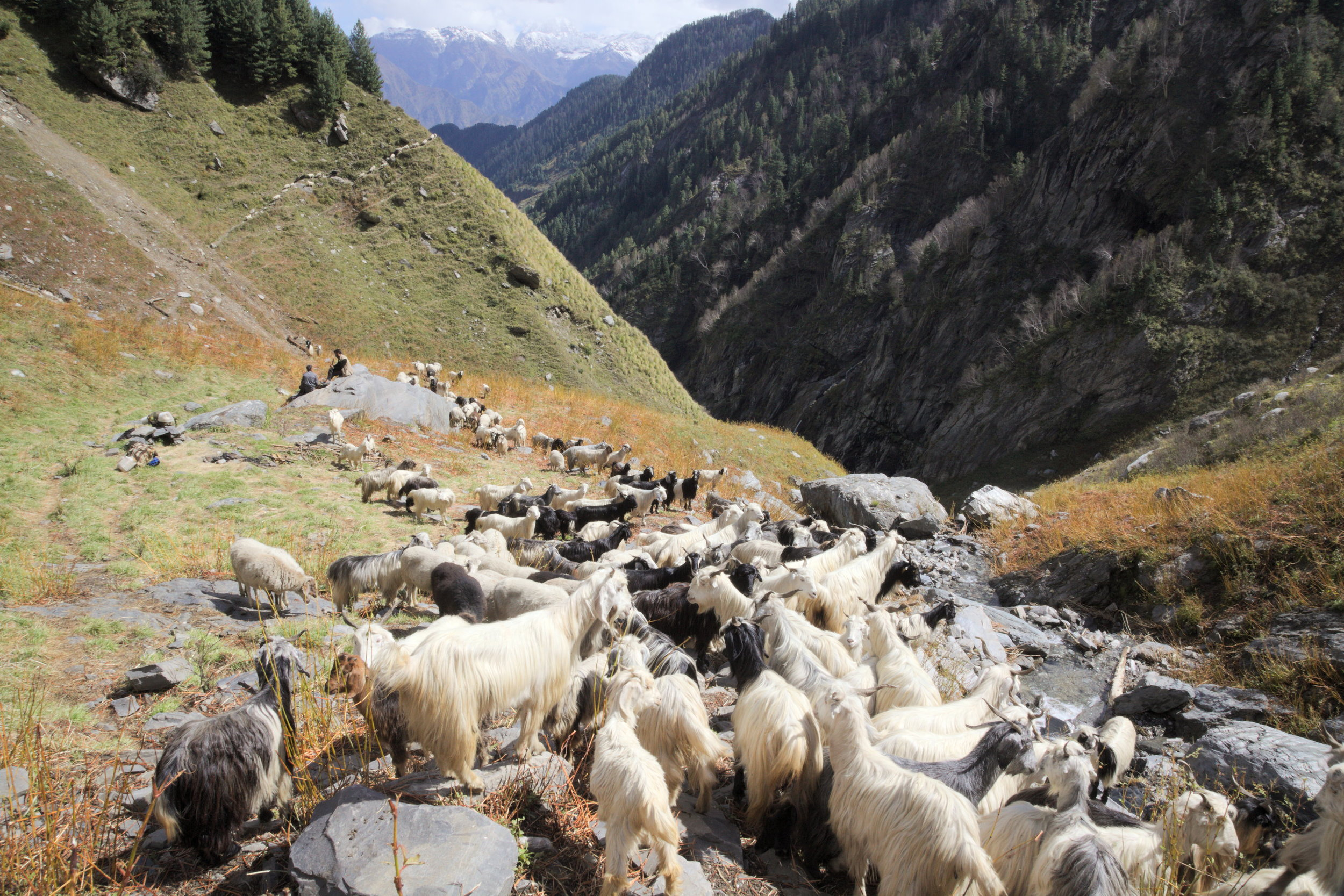 A flock in Chamba district moving south for the winter.