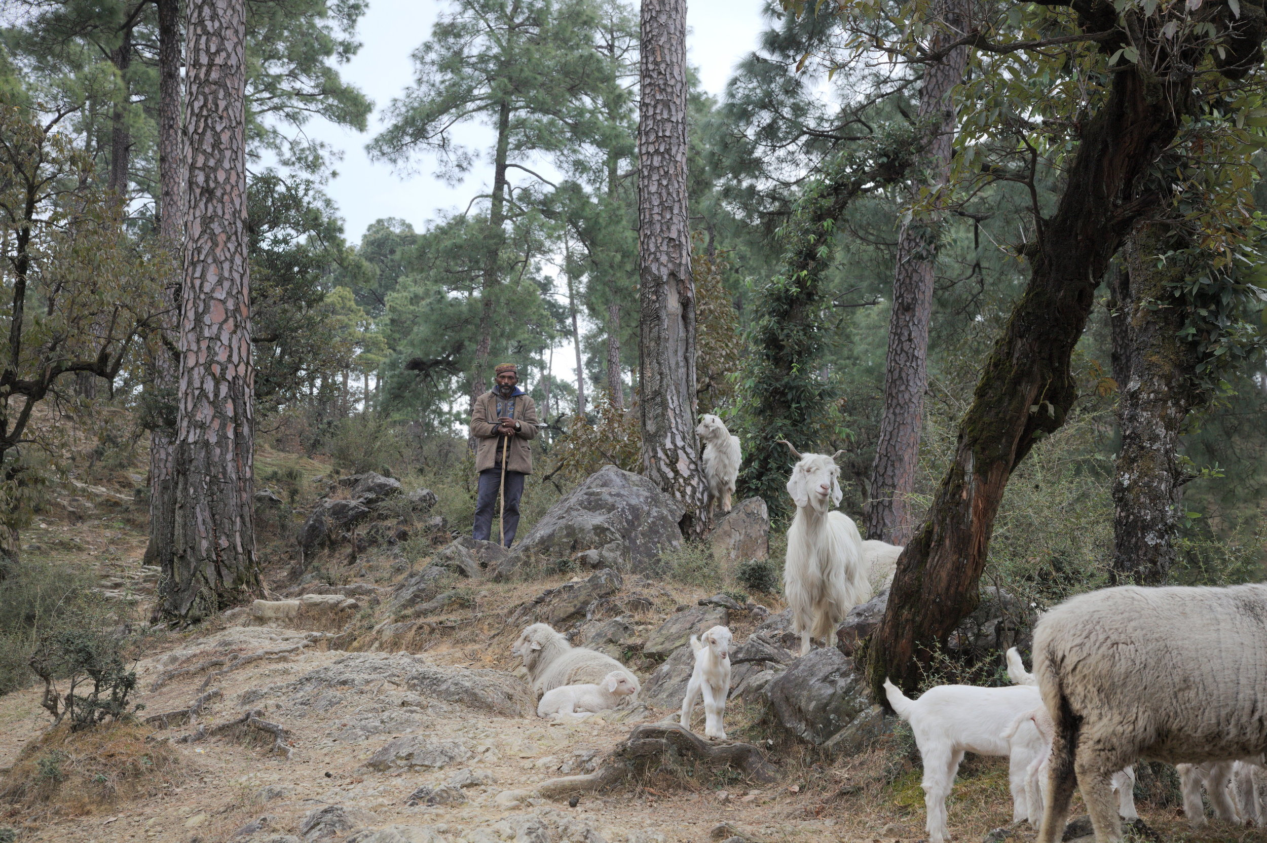 Arjun's workman with the flock, in a forest near Dharamsala, Himachal Pradesh