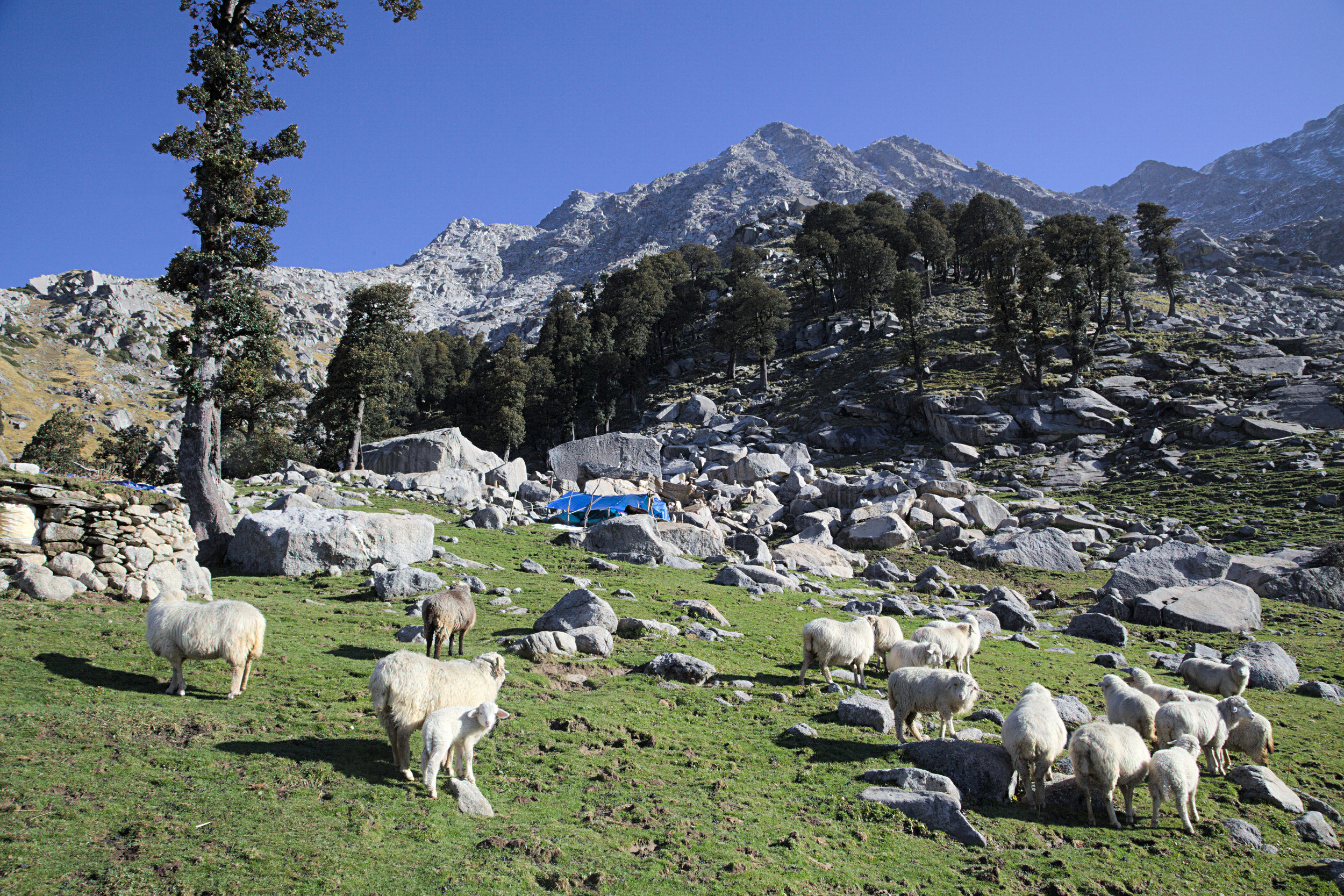 Arjun's shelter at Ilaka, near Dharamsala. Gaddis carry tarpaulin and occasionally build temporary shelters in which they will cook and sleep.