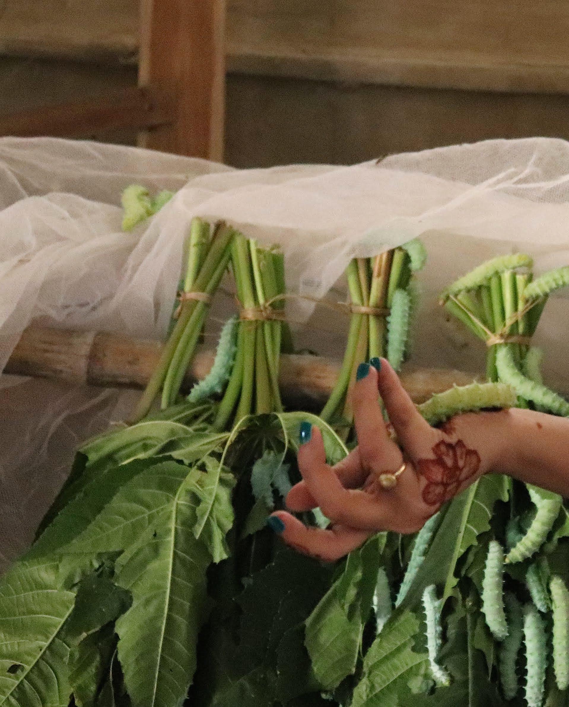 Eri Silk Worms + Castor Leaves.jpg