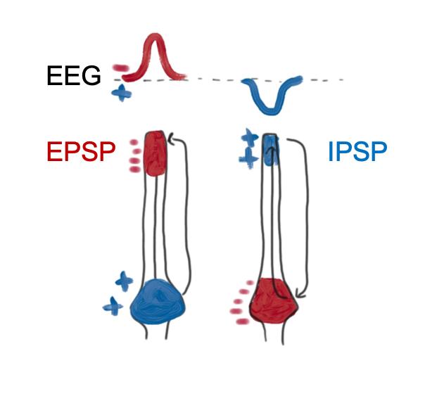 EPSP-IPSP.png