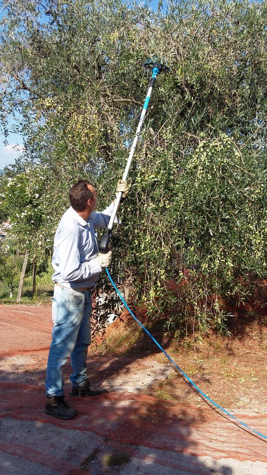 GIAMPIERO KNOCKING THE OLIVES OFF THE TREES WITH 'THE TWIZZLER'