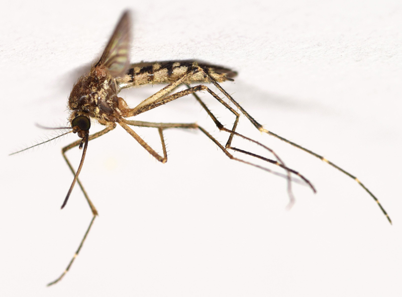 Inland Floodwater Mosquito ( Aedes vexans ) - Photo courtesy of  Thomas Palmer