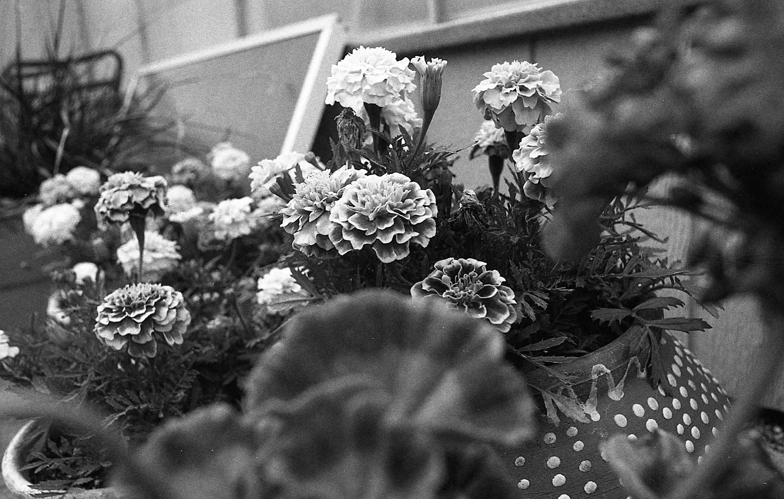 1981 Minolta X-700 Photo 35mm Film Zoe Kissel Garden Flowers