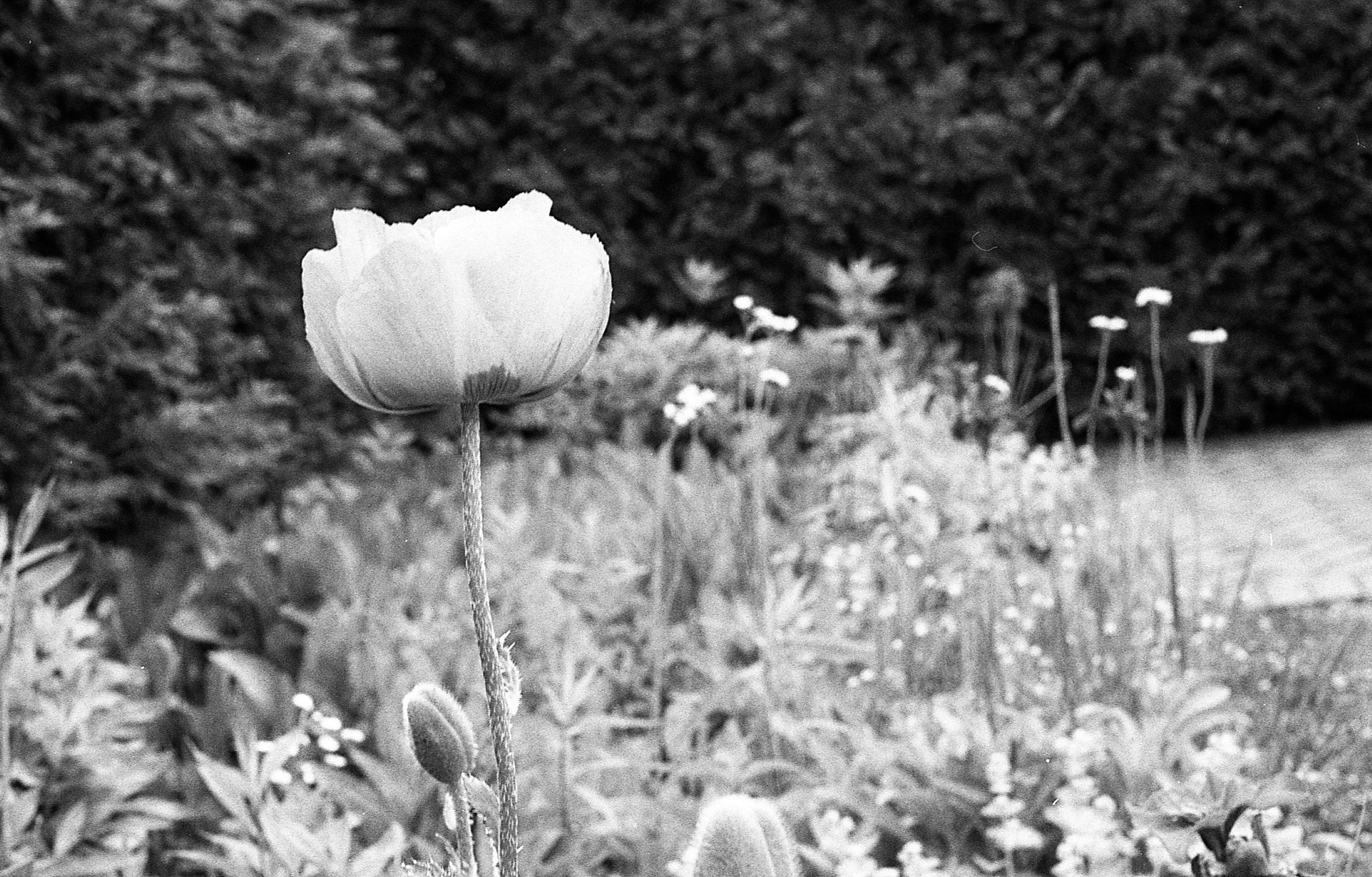 1981 Minolta X-700 Photo 35mm Film Zoe Kissel MSU Campus East Lansing Garden Flower