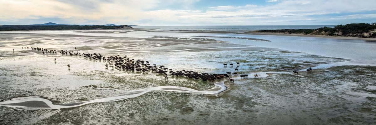 Robbins Island Wagyu cattle.
