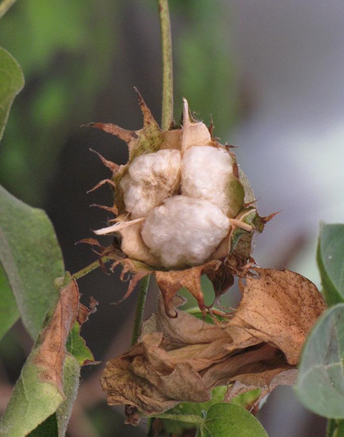 tricotin_raphael-mizrahi_fleur-coton