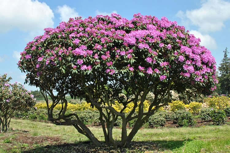 tree-and-hedge-rhododendron-2_preview.jpeg