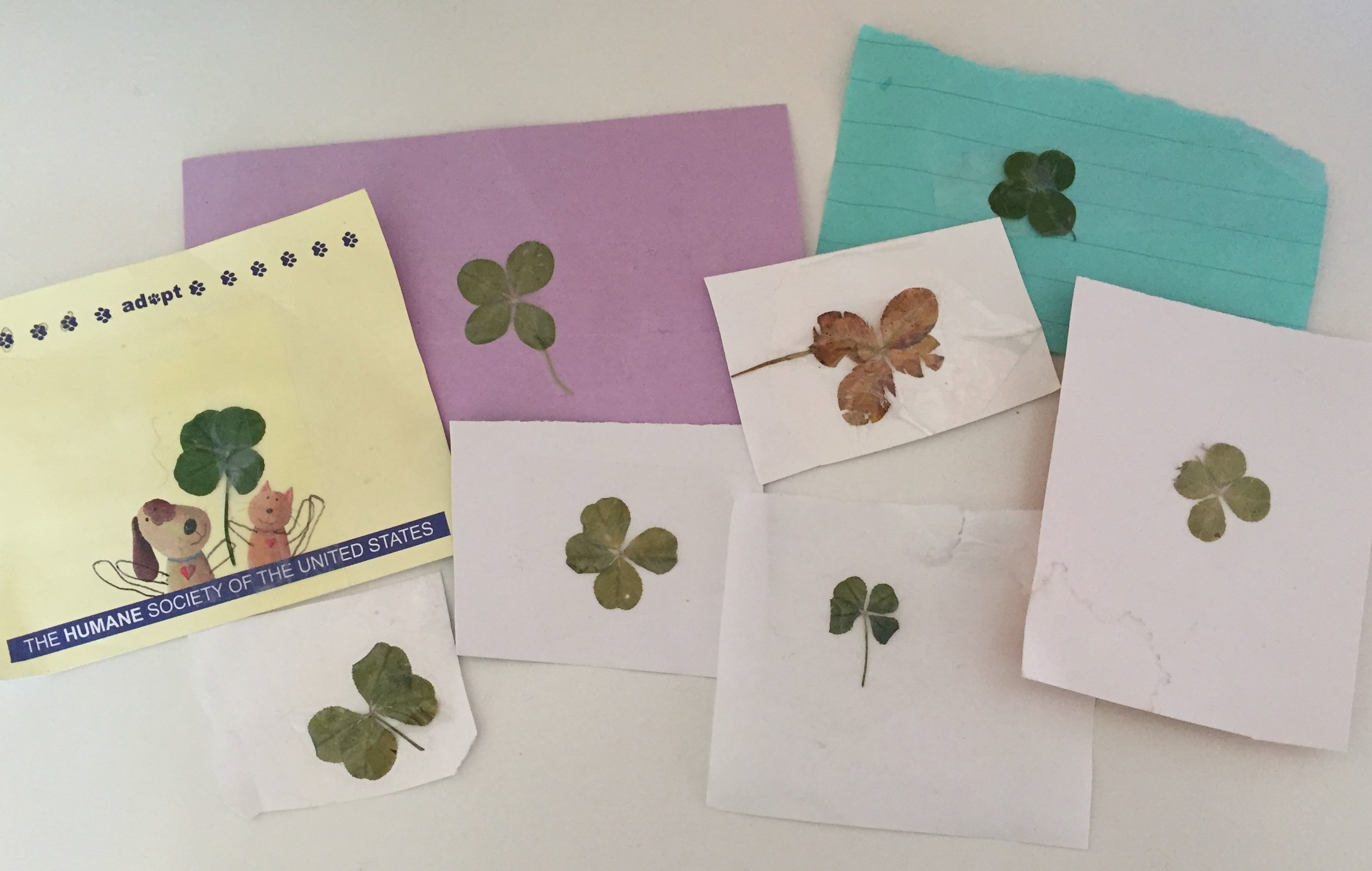 A few of my daughter's four leaf clovers.