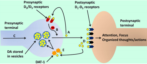 Integration of the hypoactive and hyperactive catecholamine postulates of ADHD (courtesy of Sharma, and Couture, 2014)